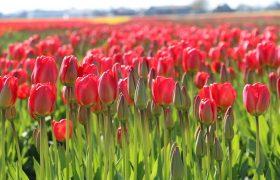 Bollenstreek Tulip Fields